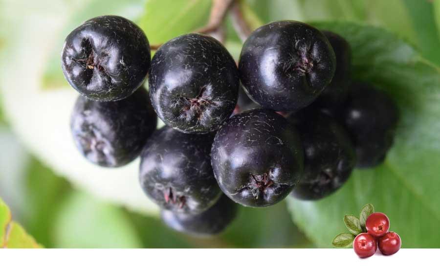 aronia, lingon och andra bär har antioxidativa effekter