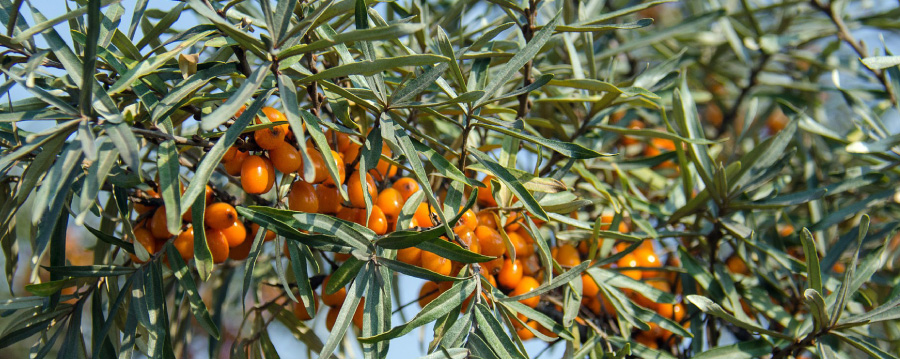 Havtorn - rik på vitaminer och andra hälsosamma ämnen