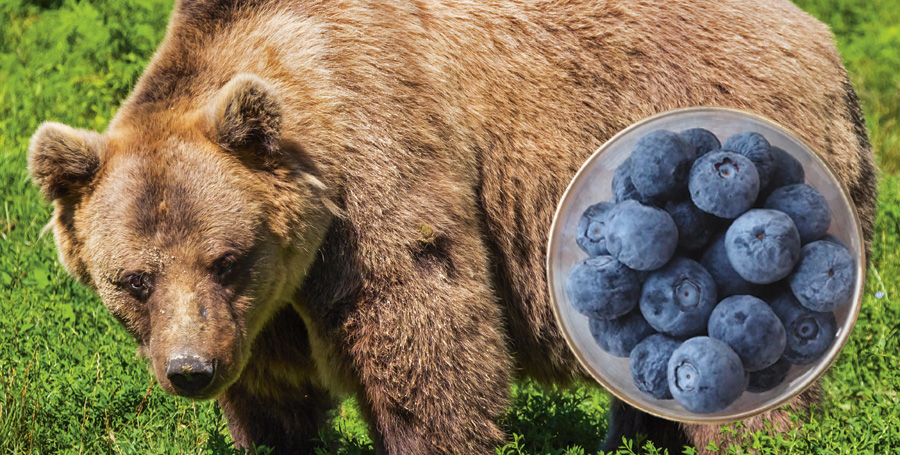 Björnarna klarar kanske vintersömnen delvs tack vare blåbären de äter?