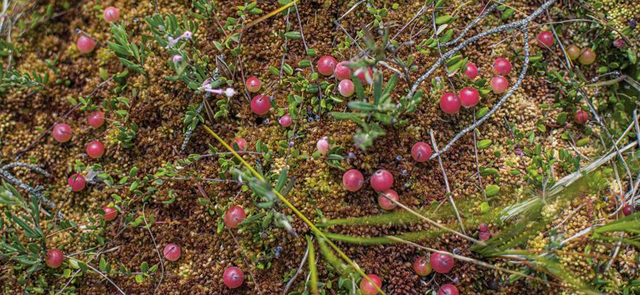 Tranbär - ger friskare mage och tarm