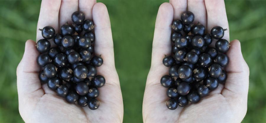 Två händer med svarta vinbär - antiinflammatoriska effekter av svarta vinbär