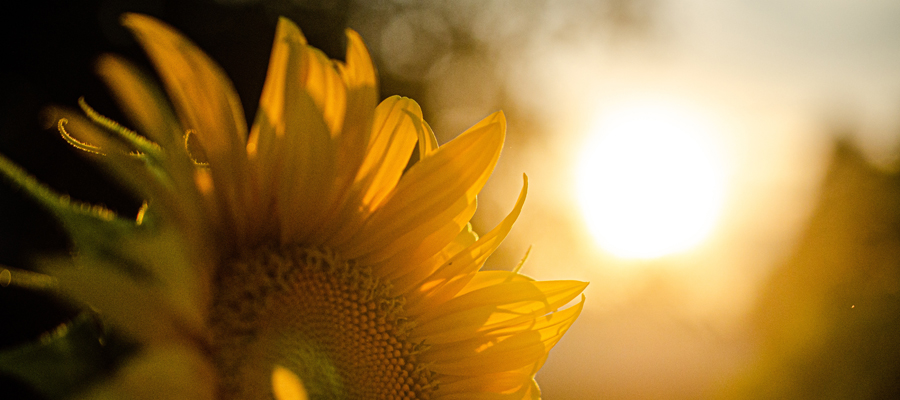 Sol och solros